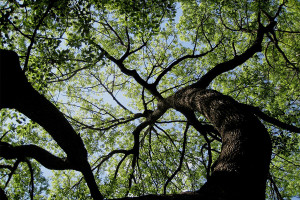 Arborist recommends shade trees