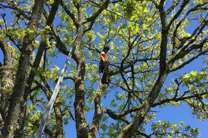 Tree Care Maple Removal