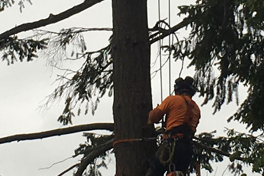 Arborist Deadwood Removal