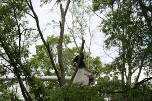 Arborist - never top your trees
