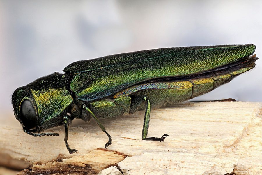 Preventative Tree Care & the Emerald Ash Borer in Provo, Utah
